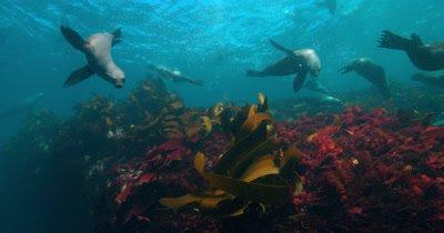Cape Fur Seals at play