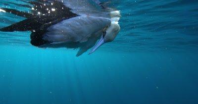 Dead Cape Gannet