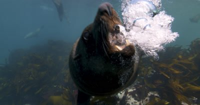 Defensive Bull Cape Fur Seal