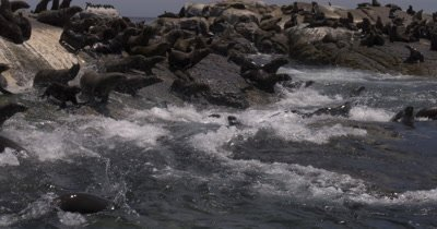 Cape Fur Seal stampede into water