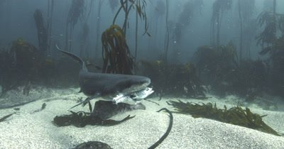 Sevengill Shark Eating Prey