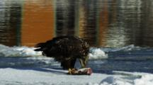 Juvenile Bald Eagle Feeding On A Fish On Floating Ice