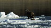 Juvenile Bald Eagle Feeding On A Fish On Floating Ice