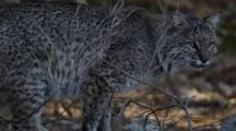 Adult Bobcat Eating A Deer