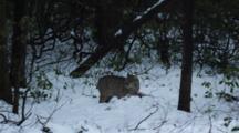 Adult Bobcat Feeding On A Deer On Snow