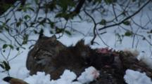 Adult Bobcat Feeding On A Deer On Snow