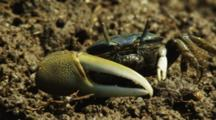 Close Up Of A Male Fiddler-Crab Feeds On Mudflat, Large Claw