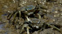 Females Fiddler-Crab Feeds On Mudflat