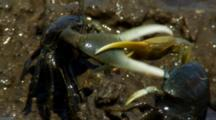 Male Fiddler-Crabs Fight For Territory, Go Back To Feeding