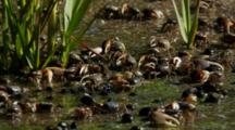 Large Group Of Fiddler Crabs And Mud Snails In Shallow Water