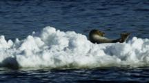 Harbor Seal Rests On Moving Iceberg In A Coastal River