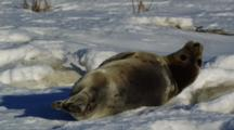 Harbor Seal Rests On Ice