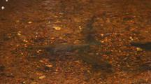 Spawning Salmon Or Brown Trout In Shallow Water