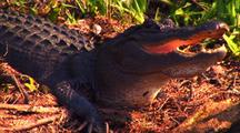 Close-Up Of Alligator In Okefenokee Swamp