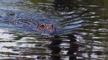 Close-Up Of Alligator Swimming In Okefenokee Swamp