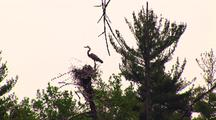 Great Blue Heron On Nest With Chicks, Flies Away