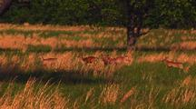 White Tailed Deer Run Through Grassland