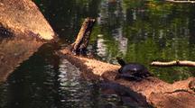 Aquatic Turtle On Log
