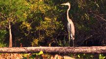 Great Blue Heron On Branch Over Swamp