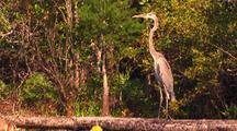 Great Blue Heron On Branch Over Swamp, Flies Away