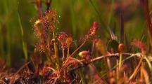 Drosera Intermedia, Sundew, Carnivorous Plants