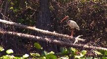 American White Ibis On Branch Over Swamp