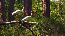 Pair Of American White Ibis On Branch Over Swamp