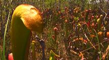 Field Of Hooded Pitcher Plants,Sarracenia Minor Var. Okefenokeensis