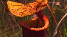 Close-Up Yellow Pitcher Plant, Veins, Sarracenia Flava