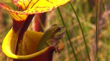 Frog, Possibly Ornate Chorus Frog, Inside A Yellow Pitcher Plant