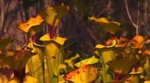 Field Of Yellow Pitcher Plants,Sarracenia Flava