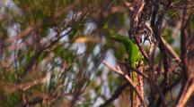 Carolina Or Green Anole In Tree (Anolis Carolinensis)
