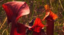 Hybrid Pitcher Plant (Sarracenia × Catesbaei)