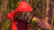 Hybrid Carnivorous Pitcher Plant (Sarracenia × Catesbaei)