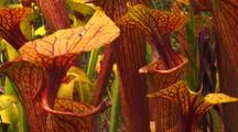 Field Of Yellow Pitcher Plants With Dark Veins