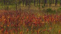 Field Of Yellow Pitcher Plants Sarracenia Flava Var Atropurpurea