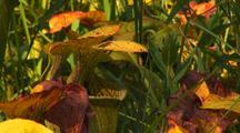 Field Of Sweet Carnivorous Pitcher Plants, Sarracenia Alata