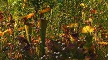 Field Of Yellow Pitcher Plants
