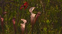White-Topped Pitcher Plants And Flower, Sarracenia Leucophylla