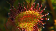Round-Leaf Sundew Carnivorous Plant, Drosera Spatulata