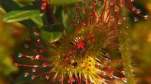Round-Leaf Sundew Carnivorous Plant
