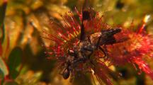 Insect Trapped On Round-Leaf Sundew Round, Drosera Spatulata