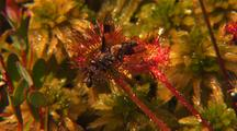 Insect On Round-Leaf Sundew Carnivorous Plant, Drosera Spatulata