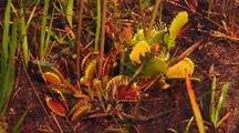 Venus Flytrap Carnivorous Plants