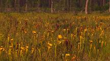 Field Of Yellow Carnivorous Pitcher Plant, Sarracenia Flava