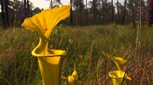 Yellow Pitcher Plants In Field, Sarracenia Flava