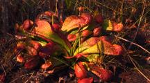 Clump Of Parrot Carnivorous Pitcher Plant, Sarracenia Psittacina