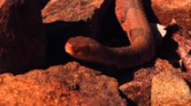 Copperhead Snake On Rocks