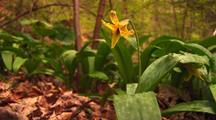 Trout Lily, Single Yellow Flower, Erythronium Americanum