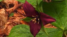 Red Trillum Flower, Trillium Erectum